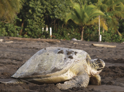 Explore Costa Rica - Visit the Sea Turtle Conservancy