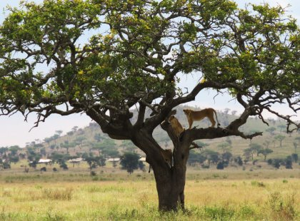 Safari through heart of the Serengeti and Ngorongoro Crater, two of Africa's top wildlife destinations.