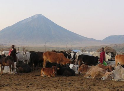 Catch a glimpse of traditional Maasai life in the early morning light. Ol Donyo Lengai, the Mountain of God, stands as a majestic backdrop in this arid northern outback.
