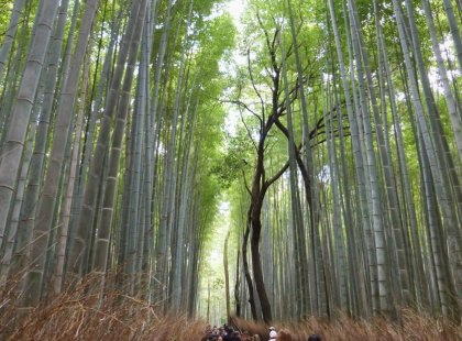 Experience the essence of Kyoto on an action-packed day that includes the soaring bamboo of Arashiyama, a rustic riverside hike and an enlightening meal with a geisha.