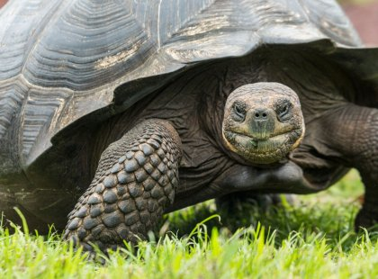 "The old Spanish word ""galapago"" meant saddle, a term early explorers used for tortoises due to the shape of their shells."