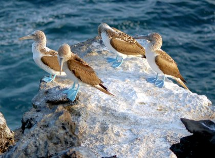 The Galapagos Islands are a mecca for tropical seabirds, including blue-footed, red-footed, and Nazca boobies.
