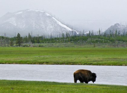 Each day, the Yellowstone wilderness offers us some of the best wildlife viewing opportunities in North America.