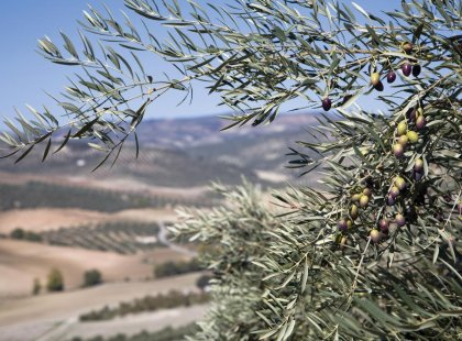 olive trees of israel