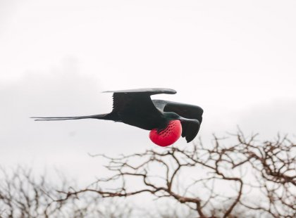 Flying Frigate bird, Galapagos Islands