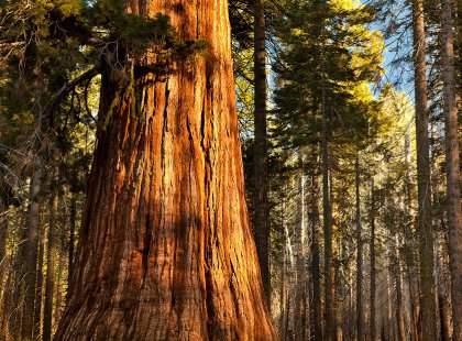 Stroll among the redwood trees in Armstrong Redwoods State Natural Reserve.